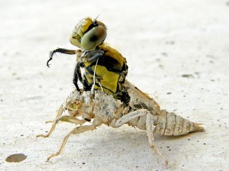eclosion de una libelula